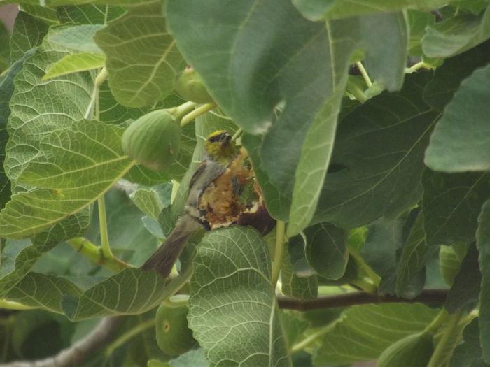 Fig Tree Figs