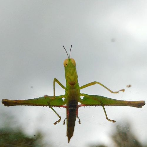 Glasshopper Tags : ➡ Caughtyouonmywindow Friendlygrasshopper Poser grasshopper hoppityhop glasshopper caughtyouonmywindscreen dragonhopper cloudysky