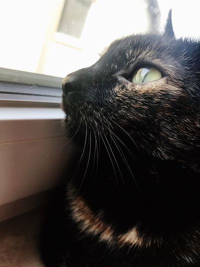 One Animal Pets Domestic Animals Domestic Cat Mammal Animal Themes Feline Whisker Black Color Animal Head  Indoors  No People Home Interior Close-up Day The Week On Eyem Animal Catoftheday Cat♡ Cat Lovers Cats Of EyeEm Cats Catslover Cat Portrait EyeEmNewHere