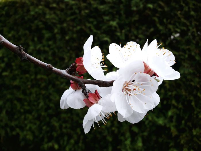 Flower Springtime Nature Flower Head Beauty In Nature No People Growth Close-up Fragility Outdoors Day Marille Spring Spring Flowers Tree Branch Close Up Apricot Apricot Tree Apricot Blossom Apricot Flowers