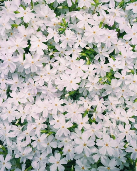 Backgrounds Beauty In Nature Blooming Blossom Botany Flower Flower Head Fragility Freshness Growing Growth In Bloom Nature Petal Plant White White Color