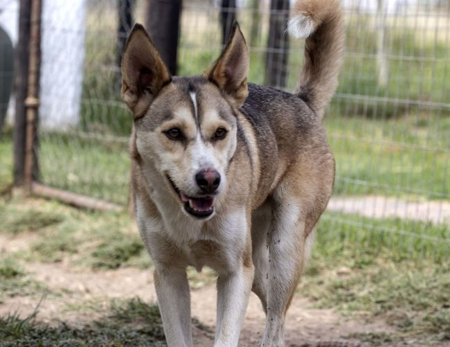 Husky rescue center Animal Themes One Animal Animal Mammal Portrait Domestic Animals Looking At Camera Canine Dog Domestic Pets No People Grass Nature Day Focus On Foreground Front View Standing Animal Wildlife Vertebrate Purebred Dog