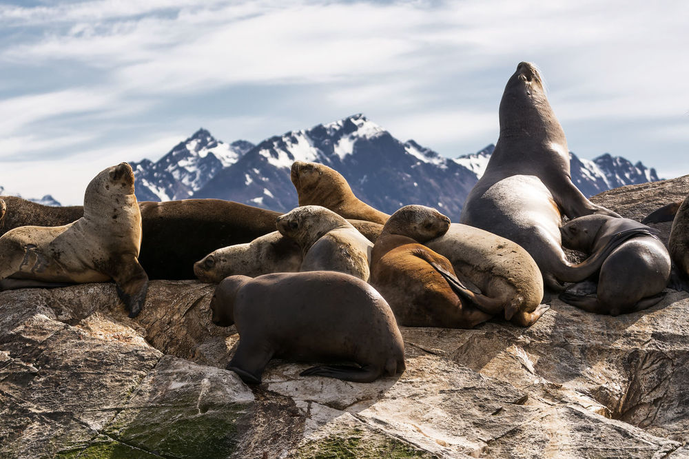 Sea lions on isla in beagle channel near Ushuaia (Argentina) America Animal Antarctica Argentina Beagle Beagle Channel Canal De Beagle Channel Colony Cuddles Flirting Land Of Fire Lion Mammals Marine Nature Ocean; Marine; Island; Travel; Del; Tierra; Fuego; Sea Lion; Canal; Wild; Chile; Pinnipeds; Islet; Mountains; Earth; Land Of Fire; Mountain; Fin Patagonia Rock Sea Lions Sealions South Tierra Del Fuego Ushuaïa Wildlife