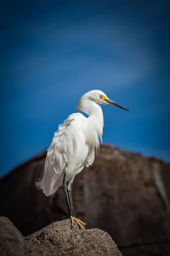 White egret bird standing on a rock Animal Animal Themes Animal Wildlife Animals In The Wild Beak Bird Blue Day Egret Focus On Foreground Nature No People One Animal Outdoors Perching Rock Rock - Object Sky Solid Vertebrate White Color