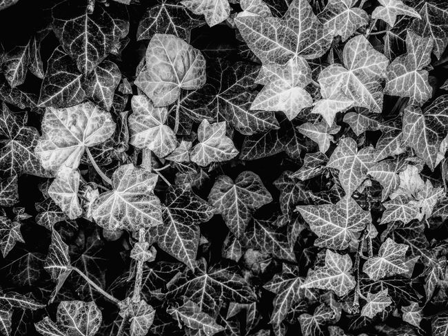 Full Frame Backgrounds No People Nature Close-up Fragility Beauty In Nature Blackandwhite Excellent Shot Textured  Background Black And White Ivy Ivy Leaves Leaves Details Plant Growth Plants Wall Natural Wall Flowers All Season Exceptional Photographs Close Up Black And White Collection  EyeEm Selects