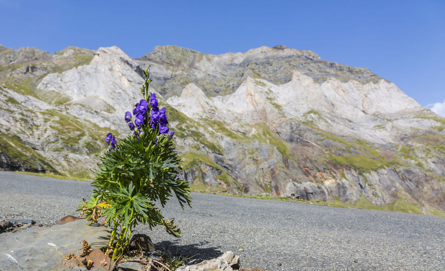 Violet flower ( Aconitum napellus) in the glacial Cirque de Troumouse located in Pyrenees Mountains, France. Aconitum Napellus Monkshood Pyrenees Pyrenees National Park Wildflower Beauty In Nature Botany Cirque De Troumouse Clear Sky Flower Landscape Mountain Mountain Range Nature No People Outdoors Outdoors Photograpghy  Plant Scenics Violet