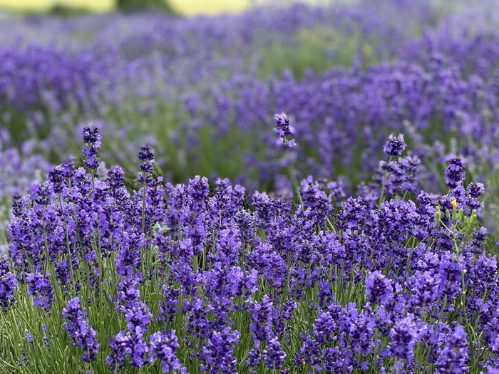 Close-up of purple lavender flowers in field