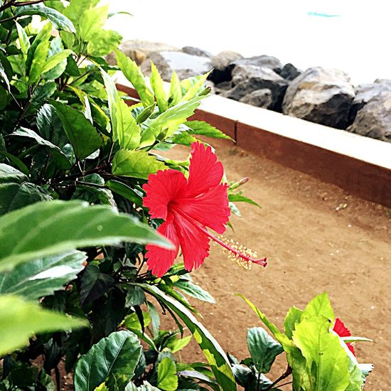 Flower Plant Red Leaf Nature Growth Beauty In Nature Fragility Flower Head Outdoors Close-up No People Freshness Day