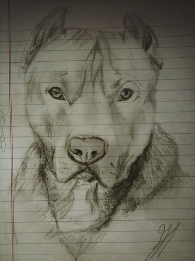 Homero Pitbull Pencil Drawing Awesome Love Cute Beatiful Puppy Eyes Perfection 😍👌💕