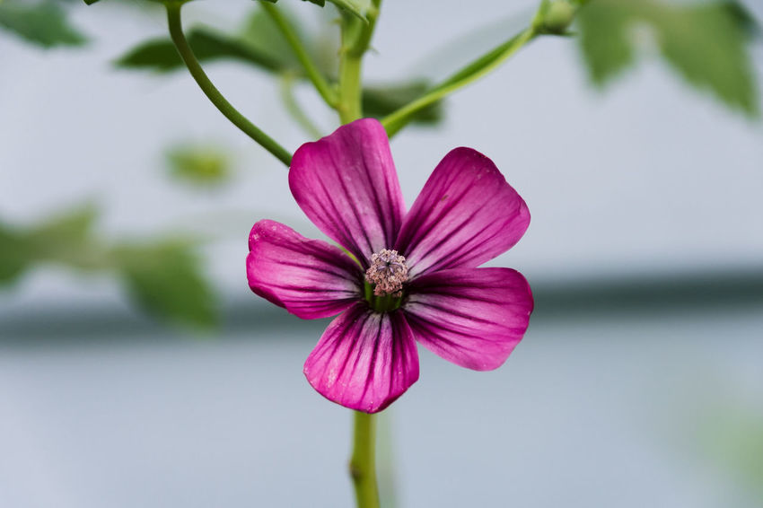 Beauty In Nature Blooming Close-up Cosmos Flower Day Flower Flower Head Focus On Foreground Fragility Freshness Growth Nature Outdoors Petal Pink Color Plant EyeEmNewHere