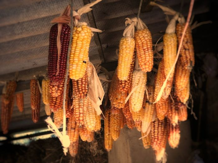 Hanging Food And Drink Food Outdoors Healthy Eating No People Day Close-up Freshness Nature Cereal Plant Agriculture Yellow Ears Ears Of Corn Ears Of Corn🌽🌽 Yellow Color Perfection Yellow Paint The Town Yellow Yellow Colour Plant Yellow Collection 🌽vegetarian🌽 😍😌😊 Ears 🌽🌽🌽 Ears Yellow