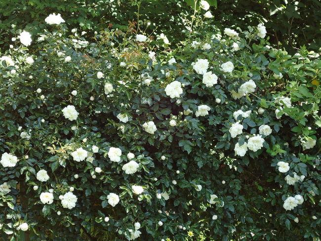 Bush Flowers Freshness Novorossiysk Roses Roses Shrub Shrub Roses Summer Vegetation Verdure White & Green