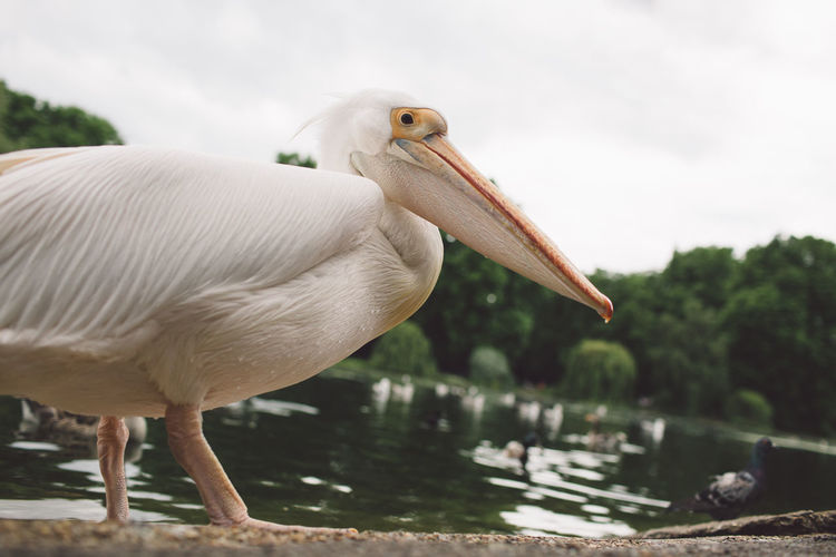 Close-up of pelican on lake against sky