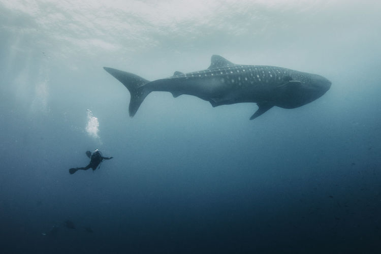 Sea Water Swimming UnderSea Underwater Animal Animal Themes Animals In The Wild Animal Wildlife Scuba Diving Sea Life Adventure Marine Fish Nature Vertebrate Aquatic Sport Sport Whale Shark
