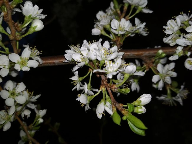 Plant Flowering Plant Flower Nature Beauty In Nature Close-up No People Night Tree Springtime Outdoors Botany Freshness Black Background Selective Focus Growth White Color Blossom Animal Wildlife
