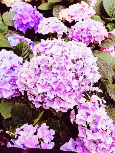 Ortensie Ortensie EyeEm Nature Lover Flower Flower Head Leaf Close-up Plant In Bloom Botany