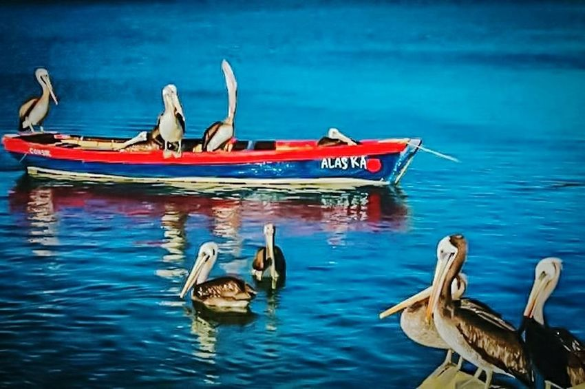 Bird Animal Themes Pelican Photoshop Edit Photographer Photoshoot Contrast And Lights Shot With Love Full Colors  Paisajes Urbanos  Santiago De Chile Pelican In Flight Pelicanos Pelican Birds Nature