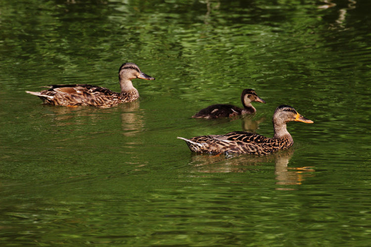 Animal Family Animal Themes Animal Wildlife Animals In The Wild Duck Group Of Animals Nature Young Animal