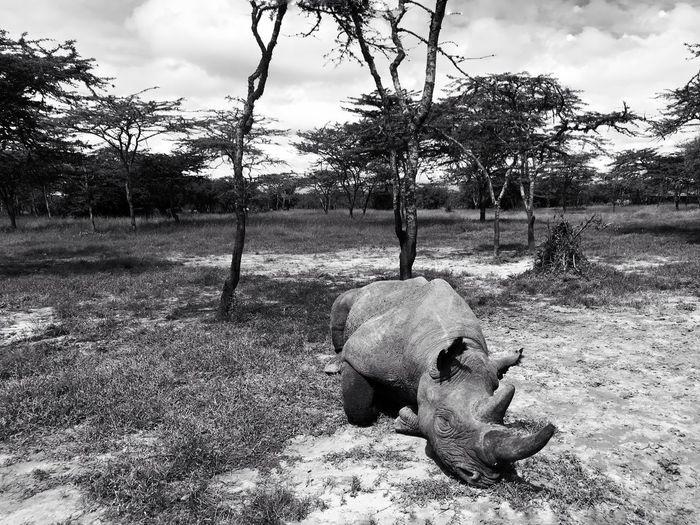 The blind Rhino Baraka 🦏 at Ol Pejeta Africa Kenya Ol Pejeta Blind Baraka Wildlife Wildlife & Nature Park Rhinos Rhino Tree Sky Cloud - Sky Nature Plant Day No People Park - Man Made Space Outdoors Fence Playground Boundary Land Park Sunlight Field