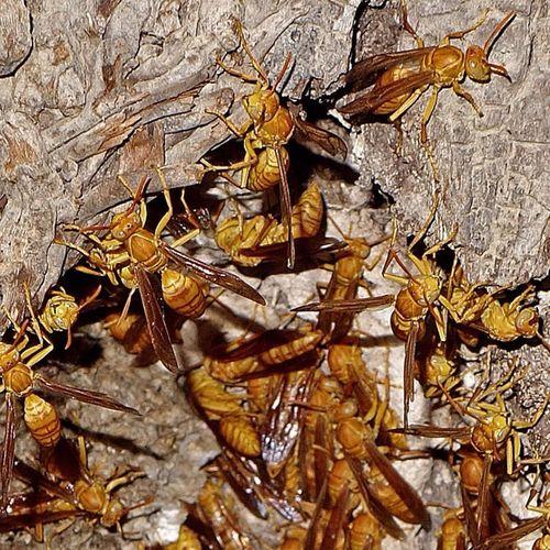 Hornets Sony Rx100 Iraq Basra عش زنابير Macro Insects  Palm Stem Nest