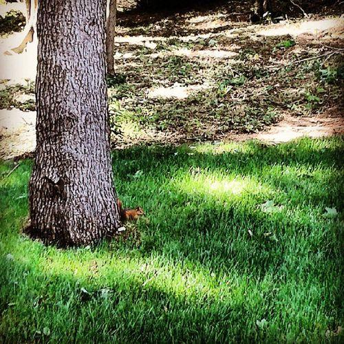 Yakaladım seni küçük şey :) Beykoz Beykozkorusu Sincap Doğa green forest woodland squirrel