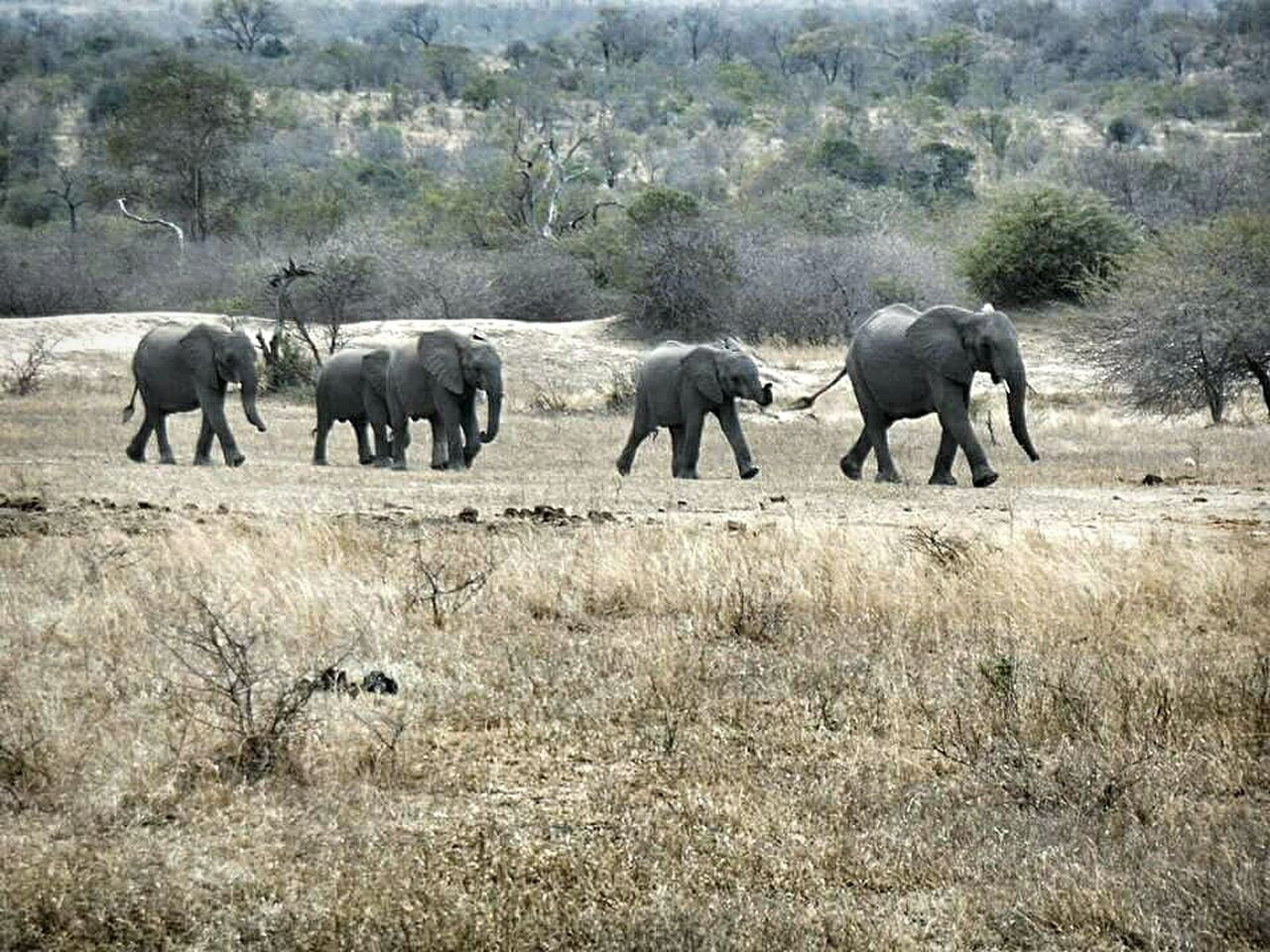 elephant, animals in the wild, animal themes, mammal, animal wildlife, nature, safari animals, no people, day, outdoors, landscape, grass, african elephant, young animal, tree, elephant calf