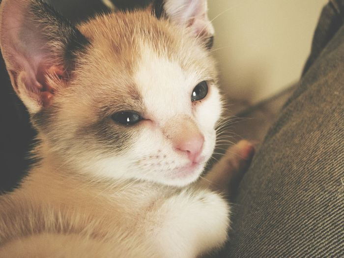 Pets Portrait Domestic Cat Domestic Animals Looking At Camera Mammal One Animal Animal Themes Indoors  Cute Close-up Feline Young Animal Love Cat Cat Lovers Cats Of EyeEm Catoftheday Pet Portraits The Week On EyeEm EyeEmNewHere