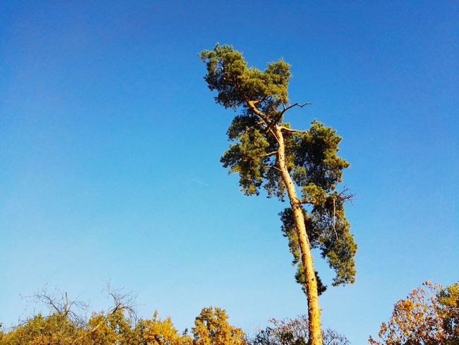 Tree Blue Nature Pinaceae Clear Sky Low Angle View Growth No People Sky Tranquility Day Beauty In Nature Close-up Outdoors Scenics Branch Single Tree