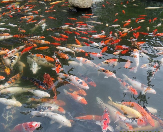 High angle view of fishes swimming in pond