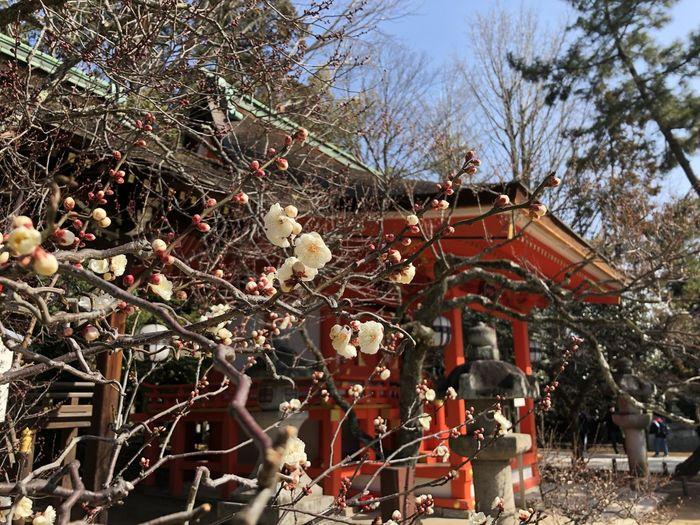 Plum Blossom Shrine Of Japan Blue Sky Close-up Day Flower Kitanotenmangu Kyoto Low Angle View