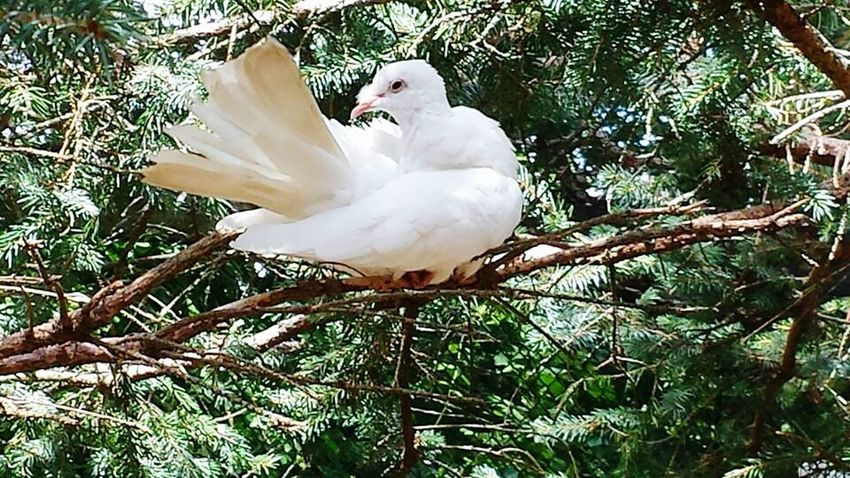 white dove perching in a pine tree Animal Photography Animal Portrait Animalphotography Zoo Animals  Beautiful Nature White Dove Dove Love Wildlife & Nature Pinetrees Bird Photography
