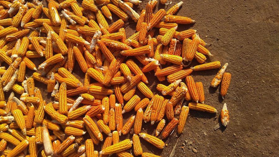 pop + Corns Corns Pop Corn 🌽 Abundance Close-up Corn Corn Farm Corn Field Cornwall Day Dried Food Food Food And Drink Freshness Healthy Eating High Angle View Indoors  Large Group Of Objects No People Pop Corn Pop Corn Free Pop Corns Raw Food Rijall Rijall Blues Rijallblues