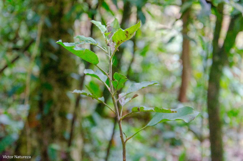 Nature Plant Green Color Documentary Fotodocumental Documentaryphotography Victornatureza Vitaonatureza Artefotografia Photoart Fotografiaautoral Brasil Travel Destinations Paraty Nature Brazil