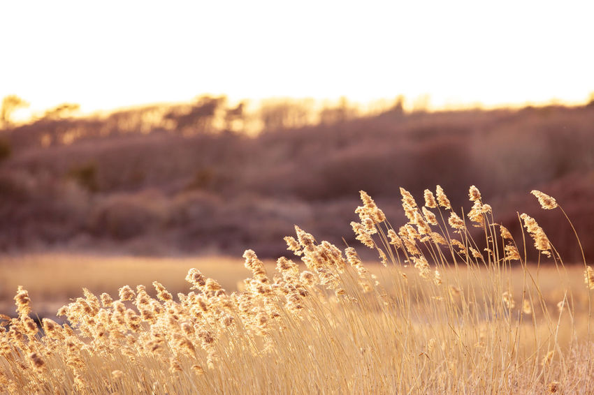 straws Nature Beauty In Nature Day Environment Field Focus On Foreground Grass Growth Land Landscape Nature No People Non-urban Scene Outdoors Plant Scenics - Nature Sky Sunlight Sunset Tranquil Scene Tranquility