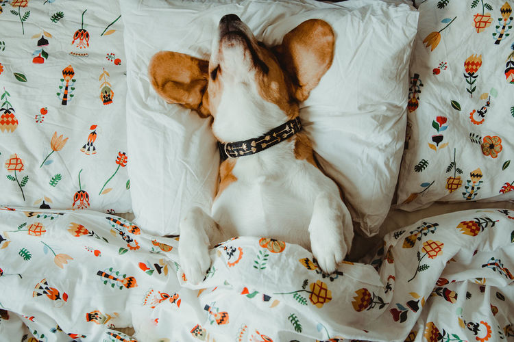 Nuca the beagle, sleepy dog in the morning Indoors  Animal Dog Canine One Animal Mammal Domestic Animals Pets Domestic Vertebrate Furniture Bed Relaxation No People High Angle View Animal Themes Floral Pattern White Color Textile Home Interior Sleeping Sleepy IKEA Bedroom Cozy
