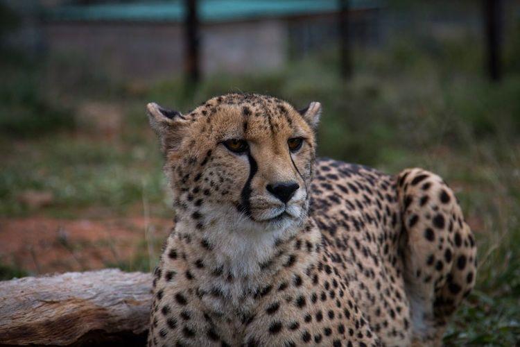 Cheetah looking away while on land