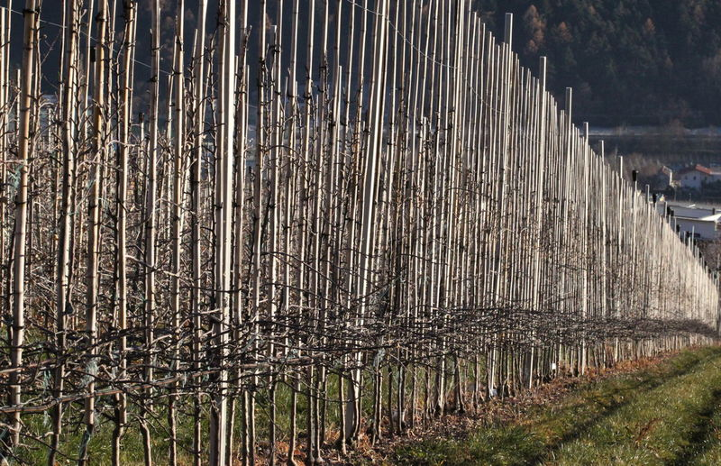 Apple Field Close Up Day December 2015 Full Frame Geometry In A Row Large Group Of Objects Narrow No People Parcines,sudtirol Sunny Day Symmetry Tree Trunks Wintertime