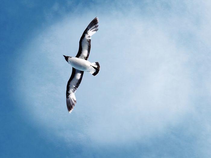 Pintado Petrel Bird Blue Sky Pintado Petrol Sub Antarctics Antipodes Bountys Flying Sky Mid-air Motion Outdoors Spread Wings Nature