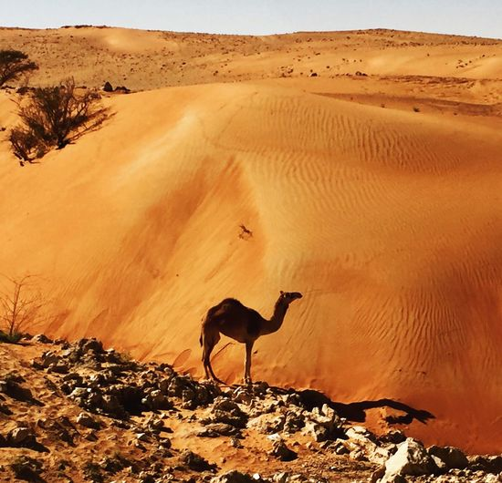 Scenic view of sand dunes at desert