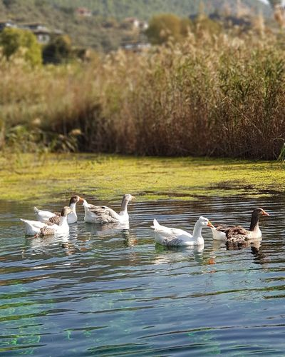 Water Bird Reptile Swimming Alligator Lake