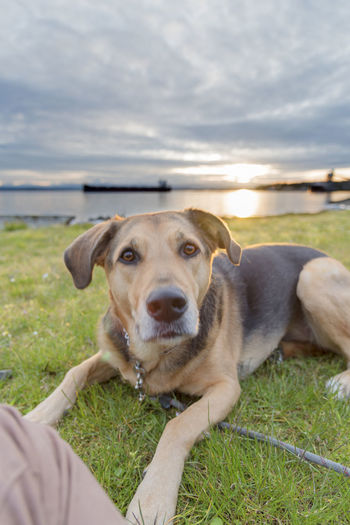Portrait of german shepherd dog lying on grassy field against lake