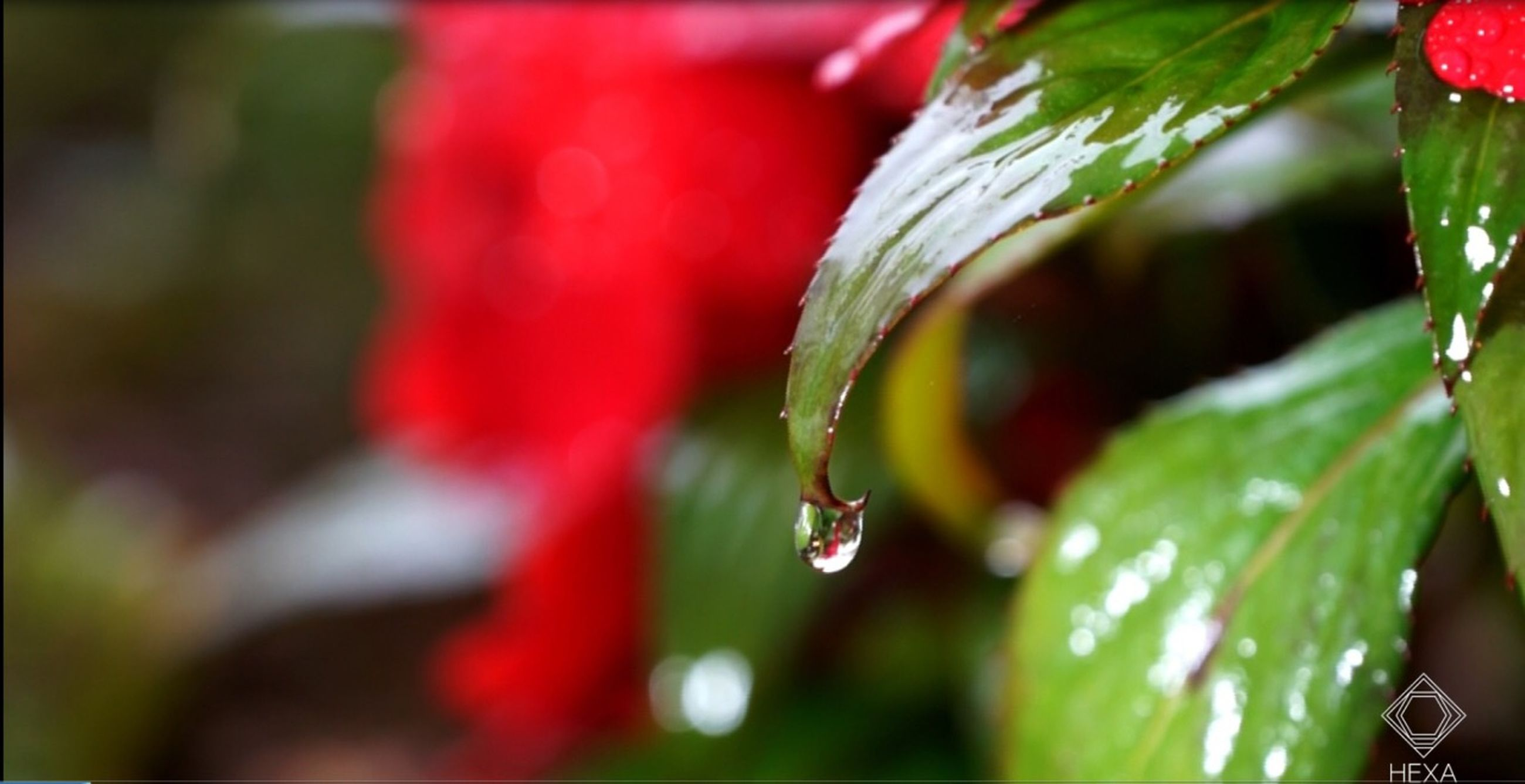 close-up, freshness, growth, drop, red, wet, leaf, focus on foreground, water, beauty in nature, plant, green color, fragility, nature, dew, selective focus, stem, bud, day, flower