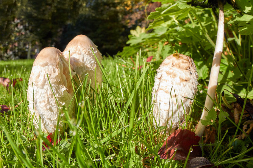 mushrooms Mushrooms Mushrooms 🍄🍄 Beauty In Nature Close-up Day Field Focus On Foreground Food Freshness Fungus Grass Green Color Growth Land Mushroom Nature No People Outdoors Plant Solid Toadstool Tranquility Vegetable