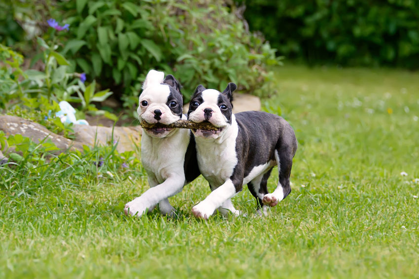 Two young Boston Terrier puppies, black with white markings, running side by side, carrying a stick. Boston Terrier American Gentleman. Bull Dogs FUNNY ANIMALS Friends Funny Pet Portraits Running Action Boston Bull Boston Terrier Boxwood Carrying A Stick Cute Dog Frisky Frolic Outdoors Paws Pets Playing Puppy Stick Togetherness Young Animal