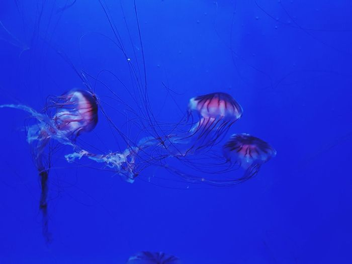 Jellyfish Underwater Sea Life UnderSea Colored Background Blue Swimming No People Animal Wildlife Tentacle Sea Nature Beauty In Nature Close-up Animal Themes Outdoors Thick Day