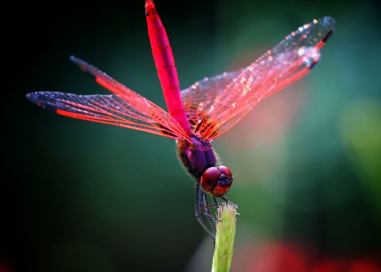 dragonfly Insect Dragonfly Singapore Macro Macro Photography Macro Beauty Canon Canonphotography Animal Themes Nature Outdoors Close-up