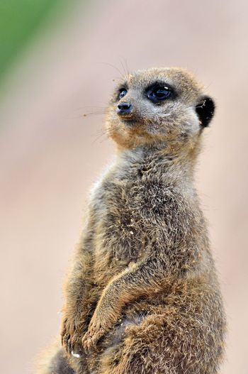 Close-up of meerkat looking away