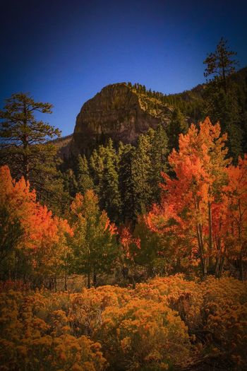 Autumn Tree Scenics Tranquility Growth Nature Outdoors Beauty In Nature No People Tranquil Scene Plant Change Travel Destinations Leaf Landscape Sky Rural Scene Mt Charleston Nevada Pine Tree Lost In The Landscape Autumn🍁🍁🍁 Orange Color EyeEm Selects