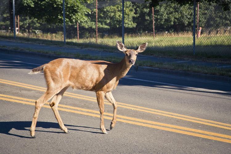Portrait of a deer on road