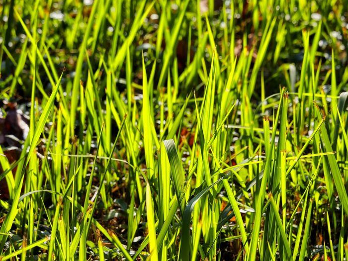 Green Leaves Grassland Grass Blades Backlit Nature_perfection Leafporn EyeEm Nature Lover Getting Inspired My Unique Style A Moment Of Zen EyeEm Best Shots - Nature Relaxing Moments A Moment In Time To Start The Day Of With A Positive Beginning  Artistic Photography